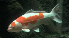 Koi carp orange white Stock Footage