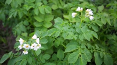 Blooming potato flower on the background of big green potato-field. Stock Footage
