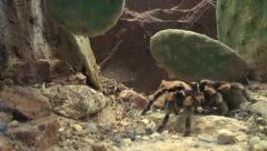 Tarantula spider Stock Footage