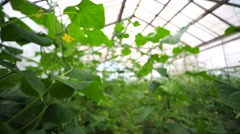 Growing cucumbers in a greenhouse, pan view. - stock footage