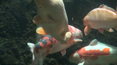 Group of koi carp under water Stock Footage