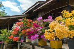 Colorful bougainvillea - stock photo