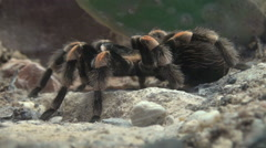 Mexican tarantula spider Stock Footage