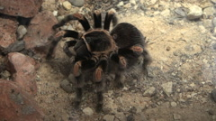 topshot of Mexican tarantula - stock footage