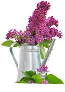 bouquet of lilac - stock photo