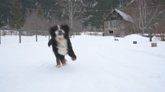 Bernese Mountain Dog Stock Footage