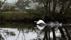 Amazing footage of an adult swan running on the water Arkistovideo