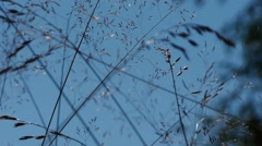 Long strands of grass sways in the wind by summer profiled on blue sky Stock Footage