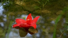 Red lily flower floating on the clear water of a small brook Stock Footage