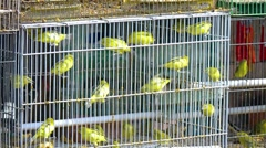 Little yellow birds in a cage. Indonesia. Bali island. Stock Footage