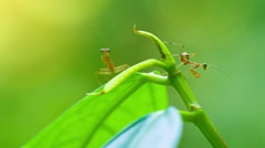 Closeup of Newly Hatched Praying Mantises on a Vine. FullHD video Stock Footage