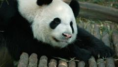 Panda resting after lunch Stock Footage