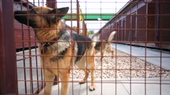 Two police german shepherd dogs, in a cage. Stock Footage