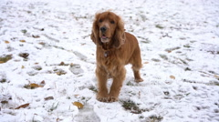 Red english spaniel for a winter walk. Stock Footage