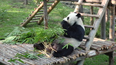 wide shot of a Funny Giant Panda Eating Bamboo - stock footage
