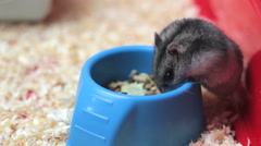 Funny hamster eating - stock footage