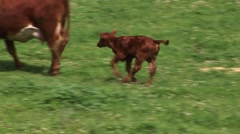 Calf and mother walking in field. Stock Footage