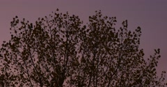Tree Crown Silhouette Swaying at the Wind Violet Sky Evening Dry Leaves on a Stock Footage