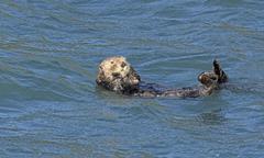 Sea Otter Preening in the Ocean - stock photo