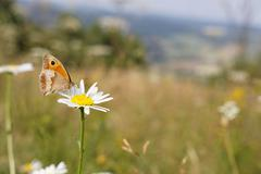 Meadow brown butterfly Maniola jurtina Satyridae on big daisy flower - stock photo