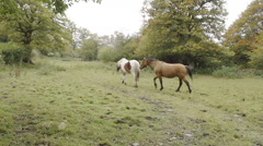 A Welsh Cob Horse In The Countryside Stock Footage