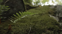 Natural Fern and Moss Growing On Large Rock Stock Footage