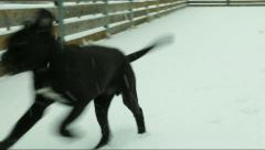 Cane Corso puppy plays in the snowstorm Stock Footage