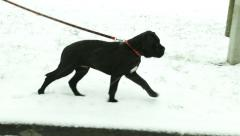 Cane Corso puppy walks in snow. Illustration pets sport - stock footage