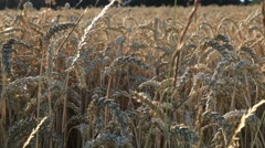 A Wheat Field in the German Countryside Stock Footage