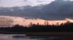 Murmuration of starlings in evening sky beautiful scene Stock Footage