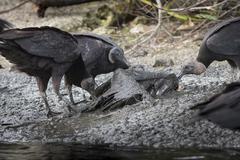 Vultures Feeding on Bird Carcass - stock photo