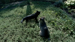 Two cats play, jumping Stock Footage