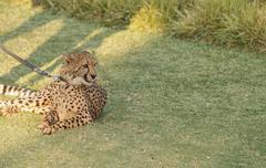 Cheetah, Acinonyx jubatus Stock Photos