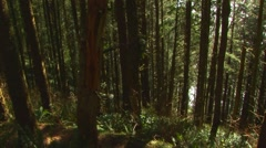 Pan through pine tree forest - stock footage
