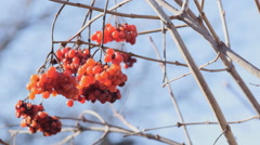 Sluggish bunches of red viburnum on the bare branches. After the winter. Stock Footage