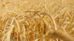 Golden wheat field with sun rays. can be used for agriculture and harvest themes - stock footage