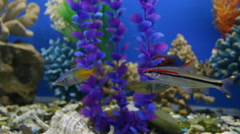 Freshwater exotic fishes. Stock Footage