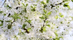 Beautiful spring flowers - Cherry Blossom Stock Footage