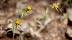 Yellow thistle flower rocking in the wind in Sardinia, Italy. Stock Footage