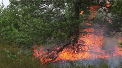 Forest ground fire under pine tree. Stock Footage