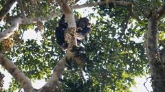 A wild Chimpanzee (Pan troglodytes), Uganda, Africa Stock Footage