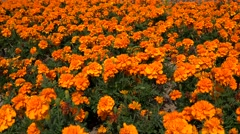 Glade of orange French Marigold (Tagetes patula). Stock Footage