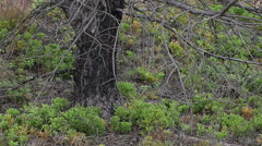 Forest ground vegetation few years after forest fire. Stock Footage