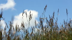 Closeup of hay field rocking in the wind with clouds in the background. - stock footage