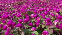 Glade of crimson Globe Amaranth flowers (Gomphrena globosa). - stock footage