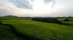 Tea plantation in Uganda Stock Footage