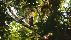 A wild Chimpanzee (Pan troglodytes), Uganda, Africa - stock footage
