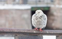 white city pigeon on a fence close up. St. Petersburg - stock photo