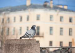 city pigeon on a fence close up. St. Petersburg - stock photo
