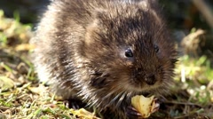 Water Vole Eating on a Bank Stock Footage